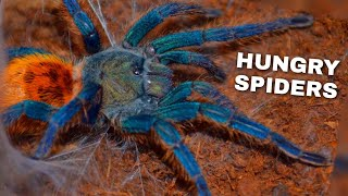 Download Feeding My Pet Tarantulas (ONE ESCAPED) Video