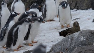 Download Penguin chicks vs skua - Natural World: Penguin Post Office: Preview - BBC Two Video