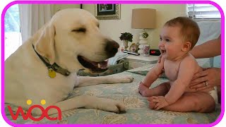 Download Baby Laughing at Labrador Dog because they are best friends | Dog loves Baby Compilation Video