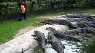 Download Crocodile Feeding at Langkawi Crocodile Farm Video