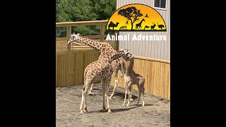 Download April the Giraffe & Sons - Giraffe Yard Cam - Animal Adventure Park Video