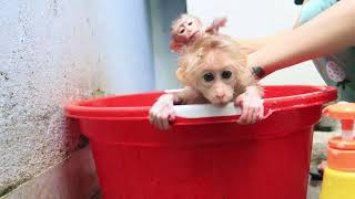 Download Monkey baby bathes after a period of abstinence. Video