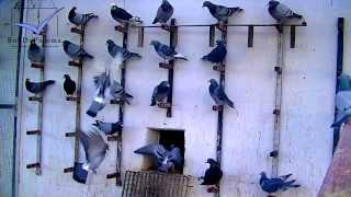 Download Racing Pigeons listen to training commands Video