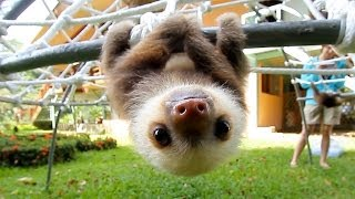 Download What Does A Sloth Say? Video