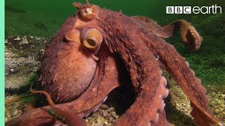 Download Octopus Steals Crab From Fisherman - Super Smart Animals - BBC Earth Video