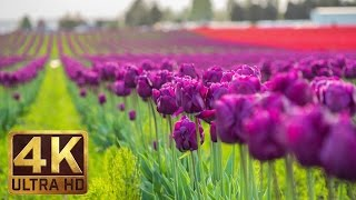 Download 4K - Tulip Flowers - 2 Hours Relaxation Video | Skagit Valley Tulip Festival in WA State - Episode 1 Video