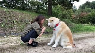 Download 秋田犬パティ お姉ちゃんはぼくのお手が可愛いくて仕方ないんだって🐶💕 Video