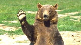 Download Bears - A Cute And Funny Bear Videos Compilation || NEW HD Video