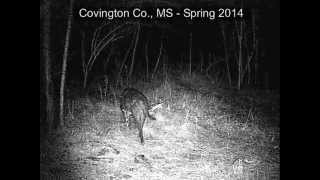 Download Coyote, Dog or Chupacabra in Mississippi? Video