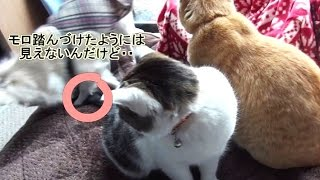 Download 【チワワに尻尾を踏まれて憤慨した猫!】stepped on the tail by the dog Video