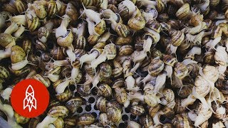 Download Harvesting Snail Slime for Beauty Products Video