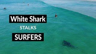 Download WHITE SHARK STALKS SURFERS - Shark Drone Footage Video