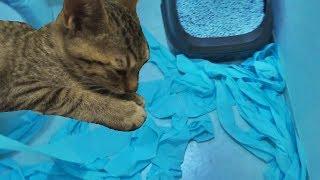 Download ルビーがトイレットペーパーでイタズラ Guilty Cat Ruby & Lily Video