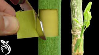 Download Ghép mắt nhỏ có gỗ – kỹ thuật ghép quả bưởi Video