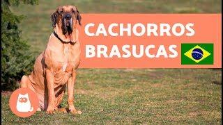 Download 8 RAÇAS BRASILEIRAS de cachorros para morrer de amores ❤️🐶🇧🇷 Video