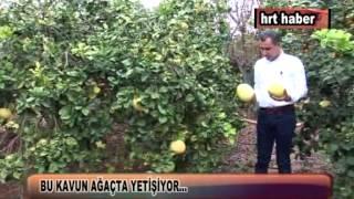 Download BU KAVUN AĞAÇTA YETİŞİYOR… Video