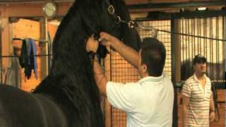 Download Friesian Horse Grooming Techniques - Wash and Dry Video