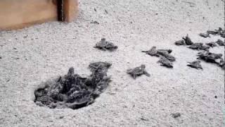 Download Turtle Hatch #27 @ 37th ave Oak Island Video