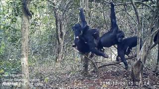 Download CHIMPANZES DU PARC NATIONAL DE COMOE 1 Video