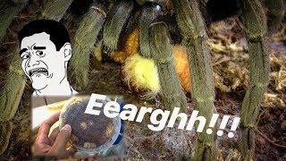 Download A very very JUICY TARANTULA FEEDING video !!! ~ Tarantula CANDY !!! Video
