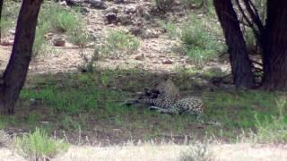 Download Leopard kills and eats Bat-eared fox Video