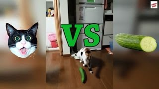 Download Cats vs Cucumbers Compilation Video