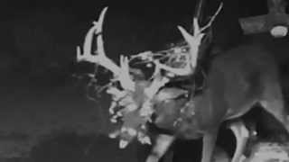 Download Crush Deer Cam LIVE! - ″Wolverine″ Making A Mess v.2015.9.13 Video