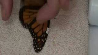 Download Live Monarch Foundation - How to fix a broken butterfly wing Video