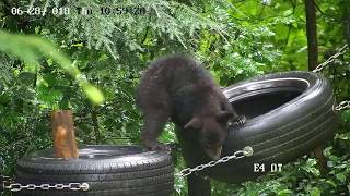 Download The Bears at Appalachian Bear Rescue Video
