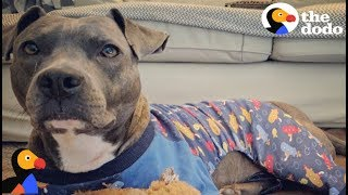 Download Anxious Pit Bull Dog Calms Down In Pajamas | The Dodo Video