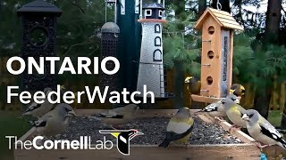 Download Cornell Lab | Ontario FeederWatch Cam, Sponsored by Perky-Pet® Video
