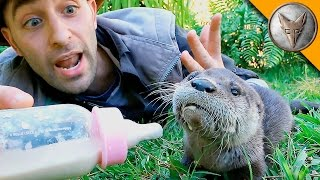 Download Baby Otter Feeding Time! Video