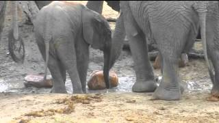 Download Feb 17 Djuma Waterhole Cam: Elephants, Look for the new Baby! Video