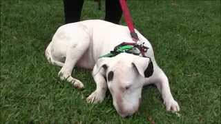 Download Aggressive Bull Terrier attacks people and dogs Video