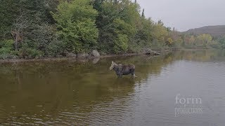 Download Northern Ontario Moose vs Wolf Video