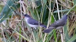 Download Coleirinho e Chorão juntos na semente de brachiaria, Papa-capim, Granívoros, Video