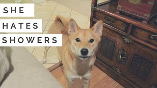 Download Shiba Inu Dog doesn't want to shower! | A Shiba Film Video
