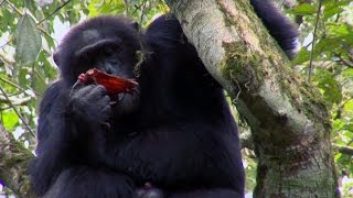 Download Chimpanzee Cannibalism | Planet Earth | BBC Earth Video
