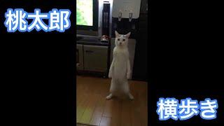 Download 立って横歩きする猫 Video