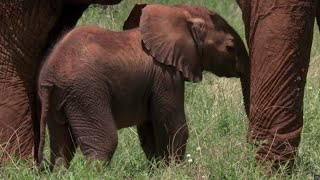 Download Tranquilized Elephant Mother risks crushing her baby | BBC Earth Video