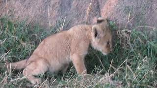 Download Lion cub caught on a rock Video