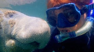 Download Affectionate Manatee Has Soft Spot For Diver Video