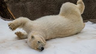 Download Cute Overload! Polar Bears Frolic in the Snow at the San Diego Zoo Video