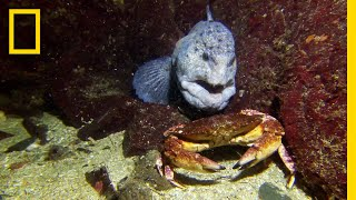 Download Meet the Intimidating Eel That Mates For Life | National Geographic Video