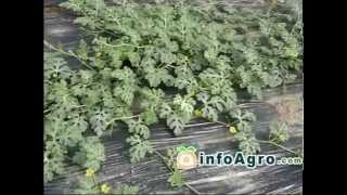 Download Watermelon Growing. How to plant, grow and harvest watermelon Video