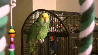 Download Amazon Parrot talking Video
