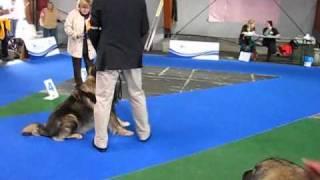 Download Evropska izložba pasa sarplaninac Video