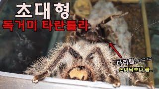 Download 초대형급 타란튤라 수컷을 암컷사육장에 넣었는데..? [정브르] / tarantula mating and breeding! Video