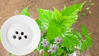 Download How to grow shiuli | parijat | Night-flowering Jasmine | Harshringar flower plant from seeds Video
