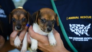 Download 66 dogs rescued from unsafe and unsanitary conditions in Ohio Video